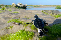 Green sea turtles hatch and walk to the shore of the Indian Ocean in Tanzania. Photography by Peter Stanley, 2012.